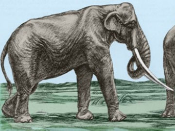 Σχηματική αναπαράσταση του είδους Ε. (Palaeoloxodon) antiquus που βρέθηκε στα Γρεβενά, στη θέση Αμπέλια.