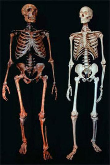 Σκελετοί για σύγκριση: Νεάντερταλ και Χόμο Σάπιενς.