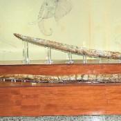 Χαυλιόδοντες από την παλαιοανθρωπολογική περίοδο βρέθηκαν στη Μεγαλόπολη