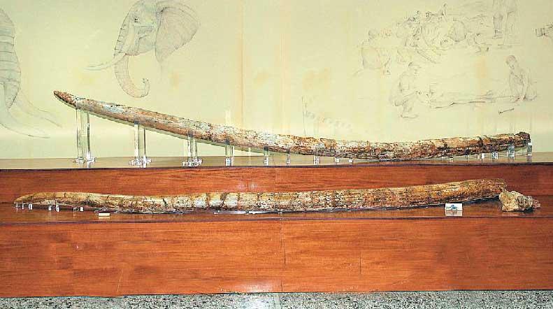Το ρεκόρ των μεγαλύτερων προϊστορικών χαυλιοδόντων στον κόσμο κατέχουν οι χαυλιόδοντες της Μηλιάς Γρεβενών.