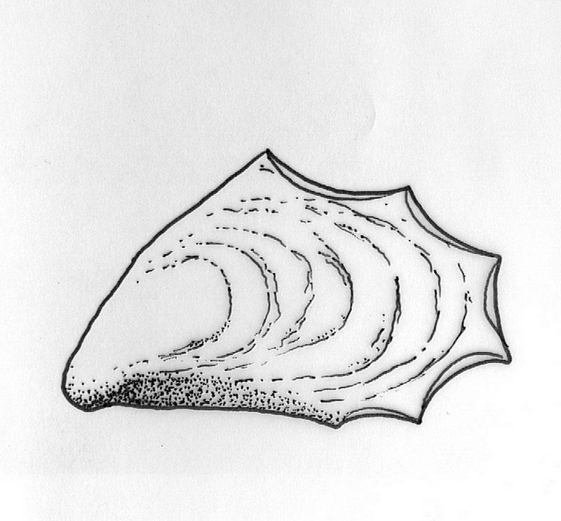 Εικ. 2. Επεξεργασμένη θύρα μυδιού (Mytilus galloprovincialis) από στρώμα του τέλους της Πρώιμης Χαλκοκρατίας.