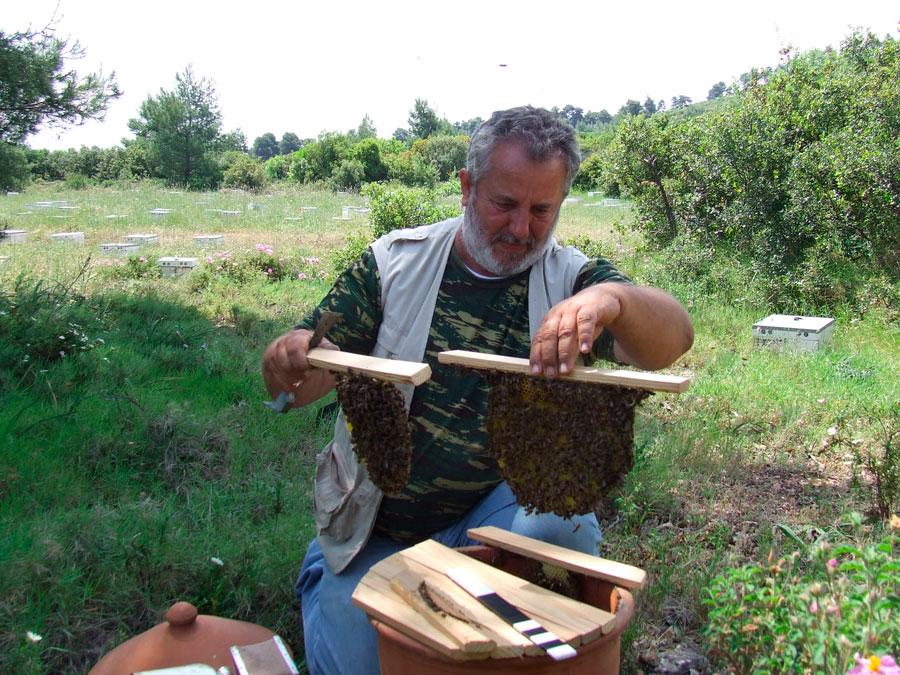 Εικ. 8. Κινητές κηρήθρες από την ΙΡ 2215 στα χέρια του μελισσοκόμου Ι. Τσιμίνη.