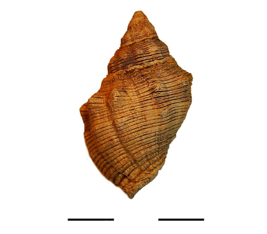 Εικ. 4. Το όστρεο πορφύρας του είδους Thais haemastoma.