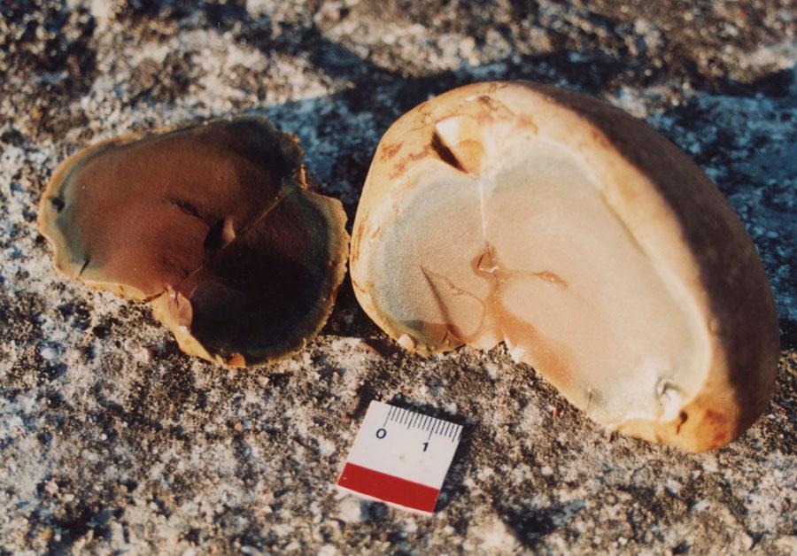 Εικ. 9. Θετική και αρνητική όψη κογχοειδούς θραύσης σε κροκάλα πυριτολίθου από την Ήλιδα, όπως φαίνεται στο απόκρουσμα (αριστερά) και στον πυρήνα (δεξιά) (Πειραματική Αρχαιολογία).