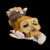 Κρανίο ηλικίας 1,8 εκατ. ετών (ξε)μπερδεύει την ιστορία της ανθρώπινης εξέλιξης