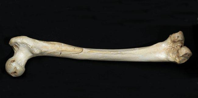 Το μηριαίο οστό, ηλικίας περίπου 400.000 ετών, που βρέθηκε σε σπήλαιο της βόρειας Ισπανίας (φωτ. Javier Trueba, Madrid Scientific Films).