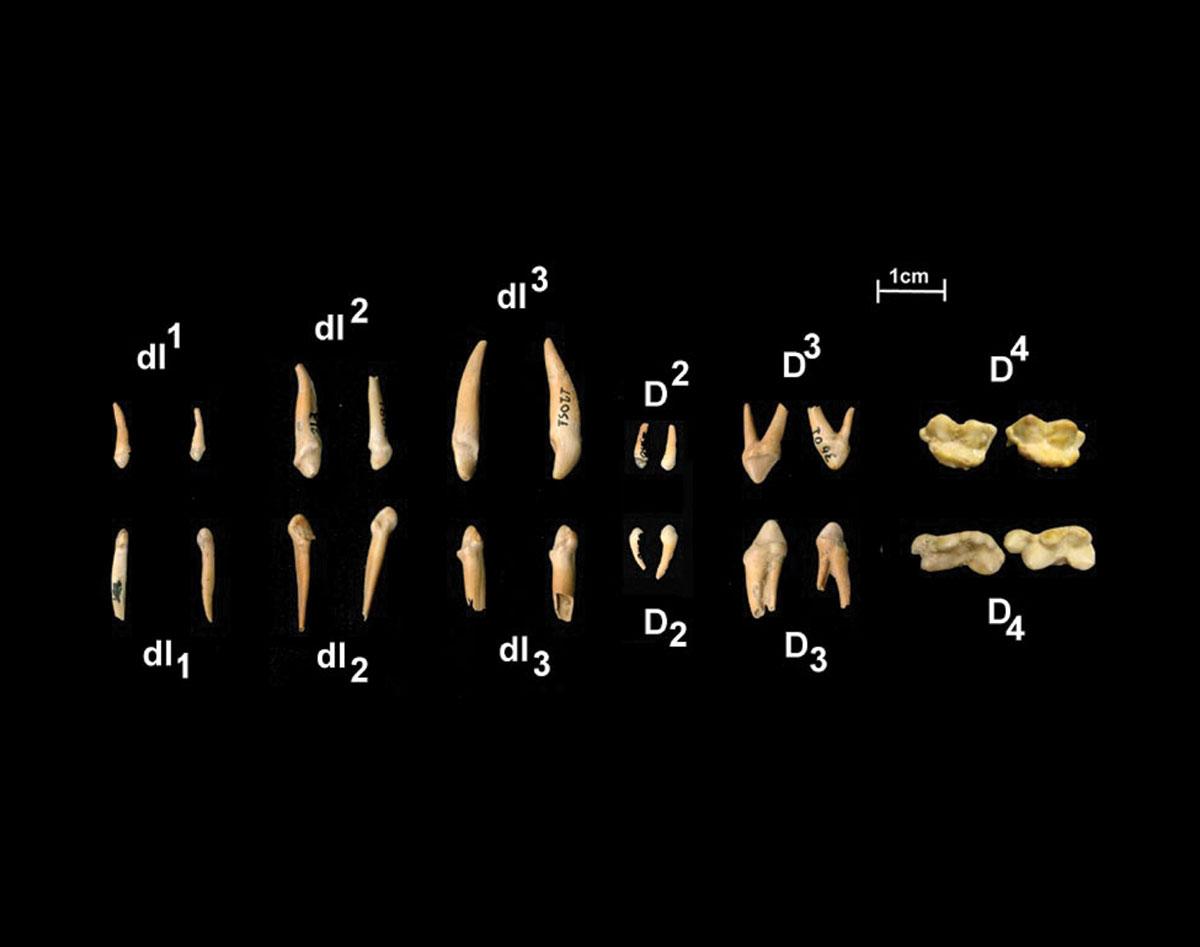 Περίπου 5.000 νεογιλά δόντια που ανήκουν στο είδος Ursus ingressus βρέθηκαν στο σπήλαιο των Λουτρών του Σπηλαιοπάρκου Αλμωπίας (φωτ. ΑΠΕ-ΜΠΕ).