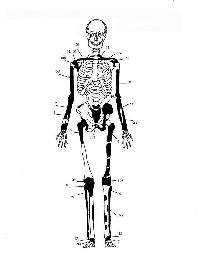 Εικ. 3. Ενδεικτική εκπροσώπηση οστών Ατόμου 2.