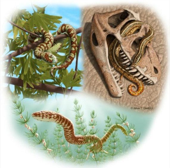 Εικαστική απεικόνιση τριών από τα τέσσερα νέα είδη αρχαίων φιδιών: πάνω αριστερά το Portugalophis lignites (Πορτογαλία), πάνω δεξιά το Diablophis gilmorei (Κολοράντο, ΗΠΑ) και κάτω το Parviraptor estesi (Αγγλία). (Φωτ. Julius Csotonyi).