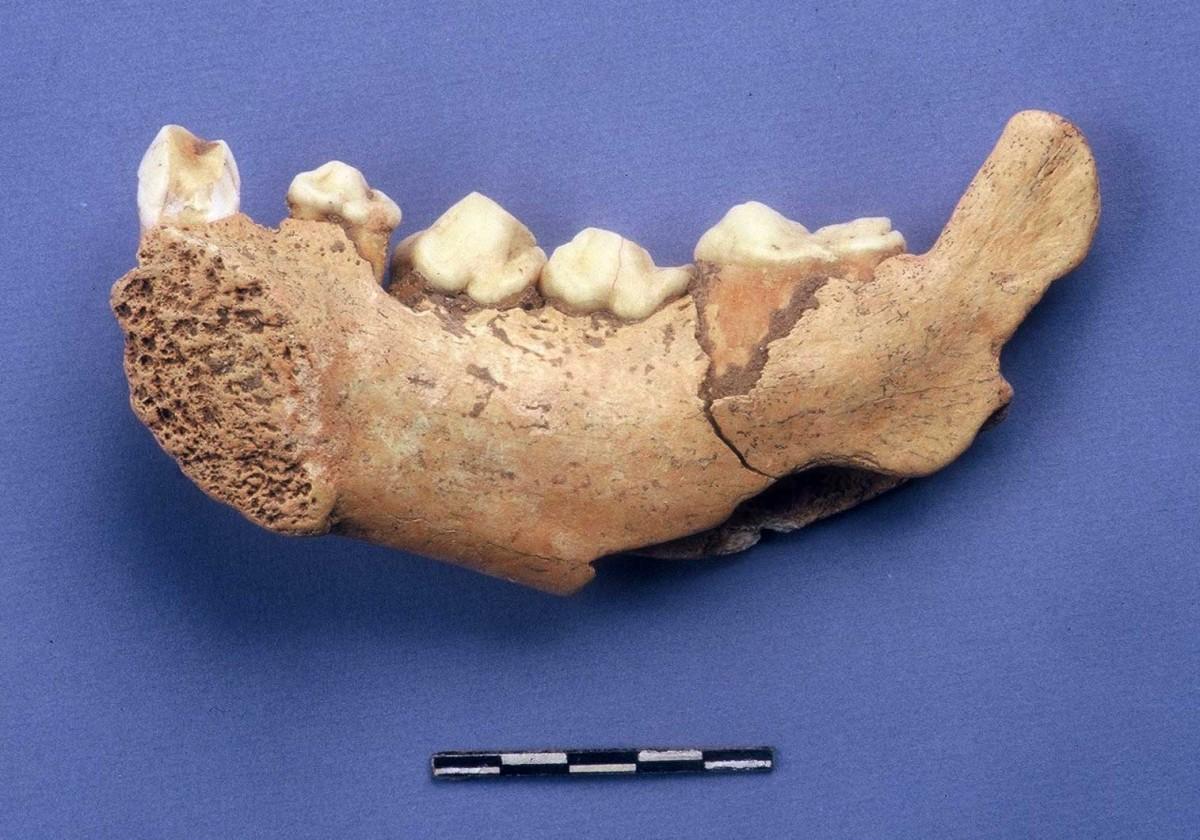Εικ. 43. Σιαγόνα ύαινας από τα ευρήματα του σπηλαίου.