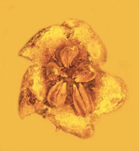 To άγνωστο και εξαφανισμένο σήμερα πια φυτό oνομάστηκε «Strychnos electri» (Φωτ. George Poinar, Jr. / Oregon State University).