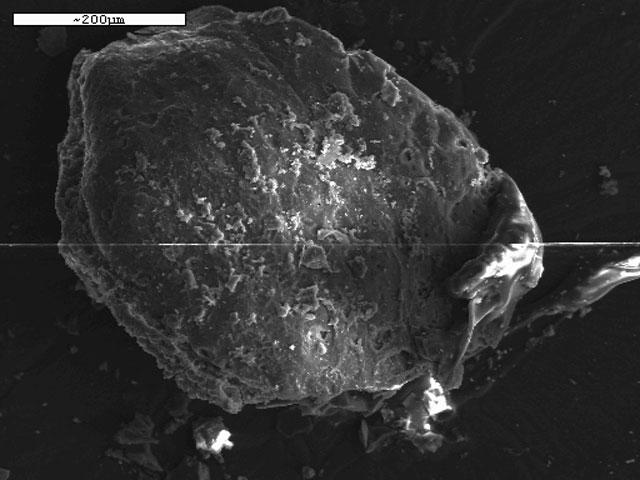 Μικροφωτογραφία επιφάνειας θραύσματος δημητριακού από τη Μεσημεριανή Τούμπα.