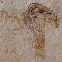 Το αρχαιότερο απολίθωμα μανιταριού
