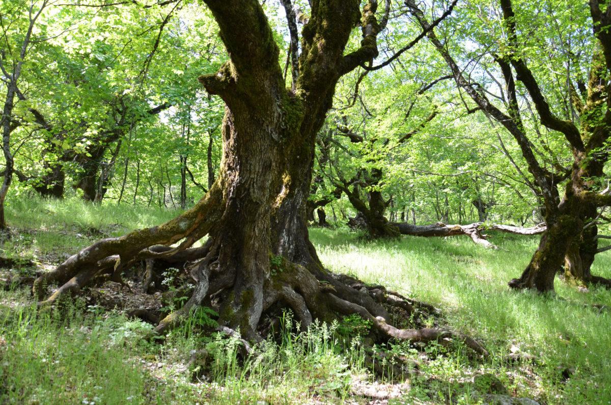 Σύμφωνα με τοπικές παραδόσεις, το ιερό δάσος της Παναγίας της Αηδονολαλούσσας σχετίζεται με ένα εγκαταλελειμμένο μοναστήρι. Γιγάντιες μνημειακές βελανιδιές, κουτσουπιές, αγριοκερασιές και οστρυές εξάπτουν τη φαντασία όσων περπατούν σε αυτά, ανακαλώντας τους Eντ, τους δενδρανθρώπους του Τόκλιν (φωτ.: Καλλιόπη Στάρα).