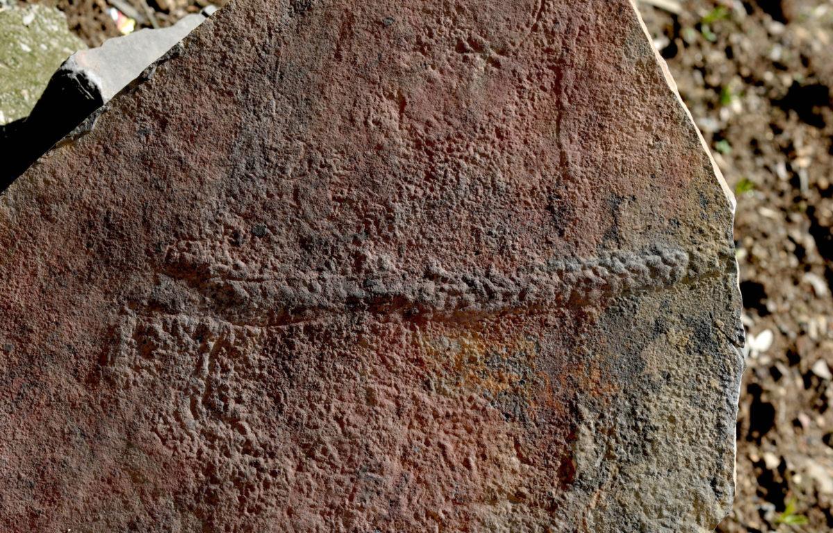 Οι παλαιοντολόγοι δεν έχουν προς το παρόν ιδέα στο πού θα πρέπει να κατατάξουν το Yilingia spiciformis στο εξελικτικό «δέντρο» των ζώων (φωτ.: Virginia Tech College of Science).