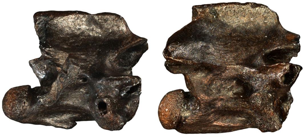 Απολίθωμα του νέου είδους «Περιεργόφις μικρός» (φωτ.: Γ. Γεωργαλής).