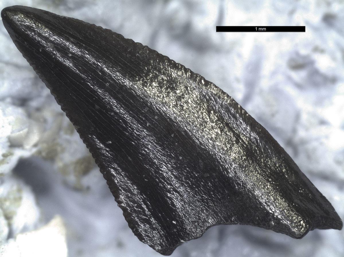 Απολιθωμένο δόντι βαράνου (φωτ.: Γ. Γεωργαλής).