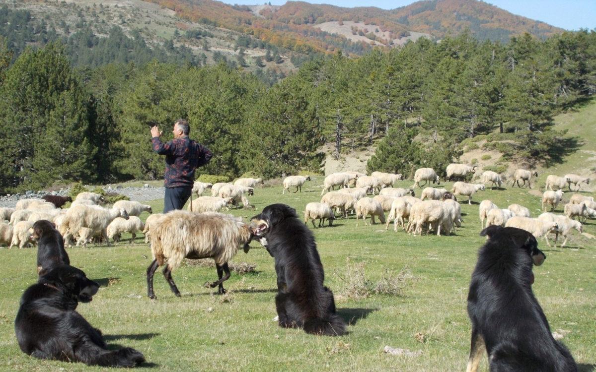 Ο όρος «μετακινούμενη κτηνοτροφία» δηλώνει την ετήσια μετακίνηση κοπαδιών μεταξύ θερινών και χειμερινών βοσκοτόπων, ανεξάρτητα από το μέσο και την απόσταση που διανύουν (φωτ.: ΥΠΠΟΑ).