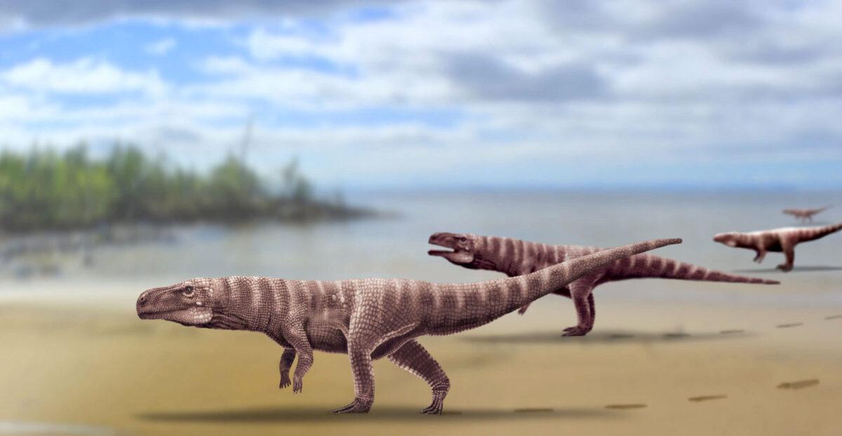 Oι ερευνητές ονόμασαν «Batrachopus grandis» τον αρχαίο κροκόδειλο που έκανε τις πατημασιές. Φωτ.: A. Romilio – University of Queensland.