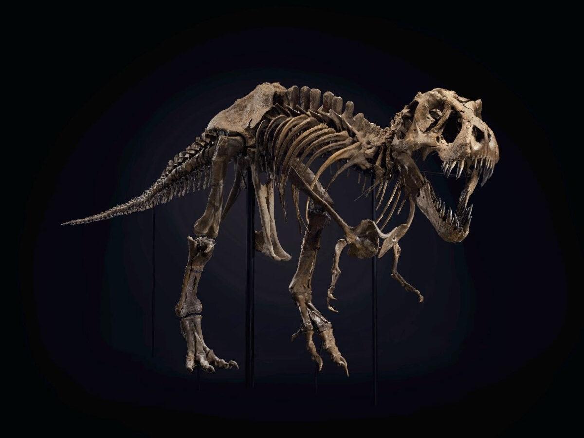 Ο σκελετός τυραννόσαυρου Ρεξ, πρωταγωνιστής δημοπρασίας του οίκου Christie's στη Νέα Υόρκη (φωτ.: Christie's).