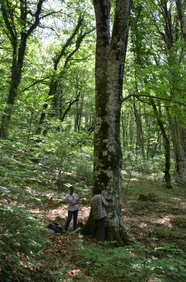 Γρεβενίτι: στο προστατευτικό δάσος με τις γιγάντιες οξιές, ηλικίας πάνω από διακοσίων ετών (φωτ.: Καλλιόπη Στάρα).