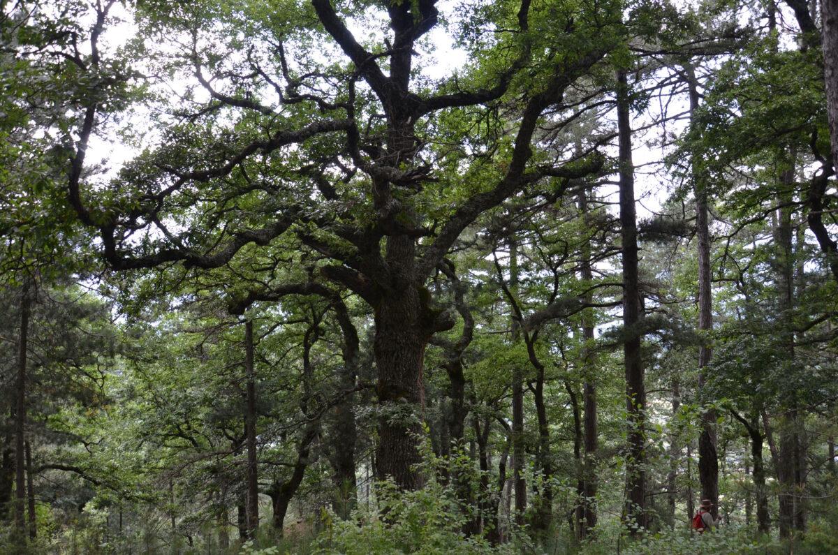 Έξι ιερά δάση της Ηπείρου «αφηγούνται» τις ιστορίες τους