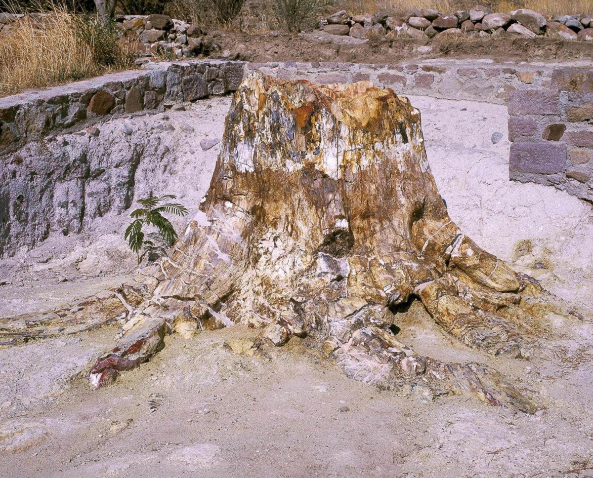 Απολιθωμένο ριζικό σύστημα δέντρου (φωτ.: Μουσείο Φυσικής Ιστορίας Απολιθωμένου Δάσους Λέσβου).