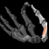 Η αυξημένη επιδεξιότητα του αντίχειρα και η εξέλιξη του ανθρώπου