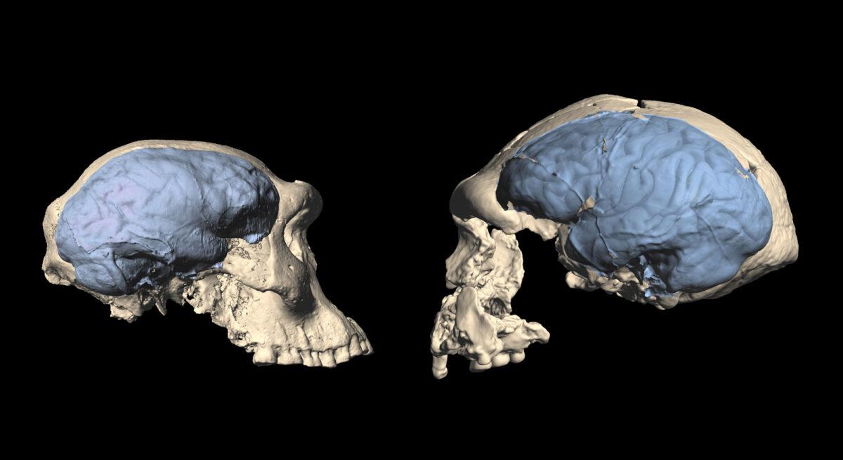 Οι πρόγονοι του ανθρώπου απέκτησαν σύγχρονο εγκέφαλο πιο πρόσφατα